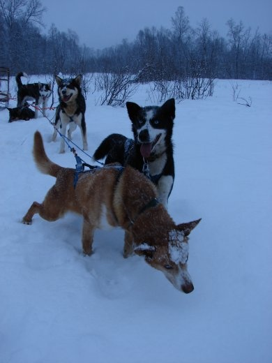 Some of the dogs we had when we went sledding. Small but very powerful.