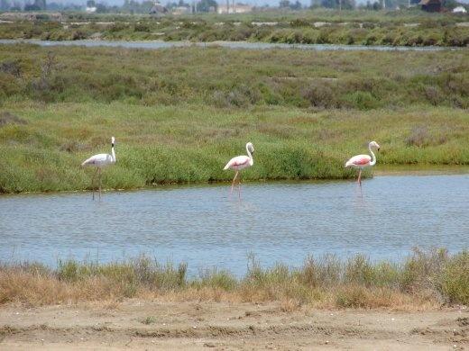 Flamingos near Sant Carles de la Rapita.