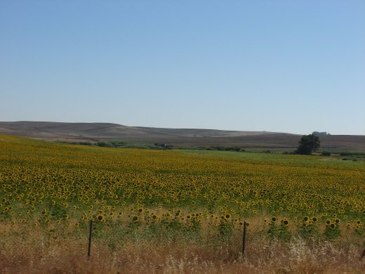 Whenever we drove we passed different crops. Driving south from Toledo there were sunflower crops everywhere.