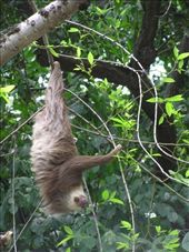 [SLOTH ACROBATICS]  One day in Panama city I walked to a market on a forested hill, Cerro Ancon. The market was just beginning and different flavours of popular Reggaeton tunes were being blasted from tinny sound systems, seemingly from all directions. Unfortunately for a local sloth, he had overnight chosen a tree right above the central activities of the daytime market, which were encroaching on the forested area. With the realisation of human chaos beneath its tree, the sloth was desperately trying to make an escape to nearby trees without having to climb down its own tree. Unfortunately for the sloth, the nearby trees were not so nearby. In this process of escape the sloth demonstrated some magnificent displays of acrobatics (and energy!) that I did not realise were possible for a sloth. It was fascinating to see the fluid, yet also awkward movements of such a strange creature. But it left me with a heavy feeling of guilt (and helplessness) as I watched this sloth's distress. I am pleased to say that eventually the sloth's efforts were rewarded and he safely made it to the arms of nearby branches, where he clambered away more quickly than I've ever seen a sloth do so.: by mimosa, Views[1316]