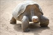 Giant Turtle at San Diego Zoo: by misch, Views[220]