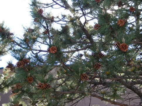 Pine cones still on the tree! I just had to take a pic.