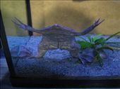 Some odd frog that likes to stay underwater for as long as it can hold it's breath. There was actually a sign on the tank that said 'Do not tap glass, live animal' heheh.: by mlisaho, Views[212]