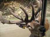 His antlers were very soft and velvety.: by mlisaho, Views[100]