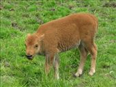Baby buffalo: by mlisaho, Views[93]