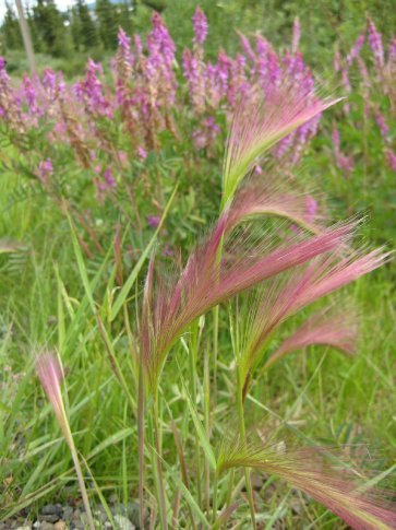 Squirrel Tail Grass. I love this! Really is like stroking a squirrel's tail.