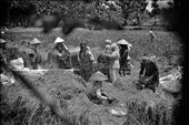 a group of farmers were harvesting paddy, in Indonesia, rice is the staple food. Agriculture in Indonesia is done traditionally, their groups and help each other.: by mohammadrezagemiomandi, Views[607]