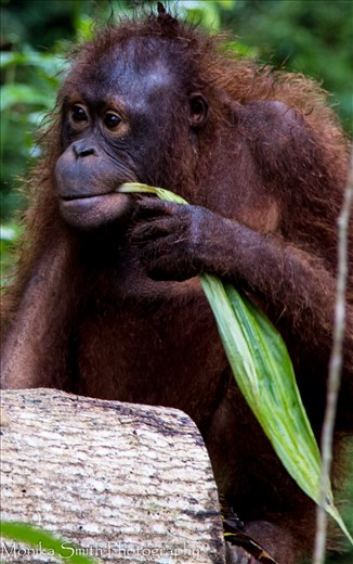 Forest School - Rehabilitation of the Orangutan