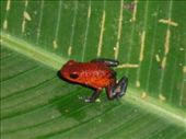 Tortuguero poison dart frog: by monkeypoo, Views[126]