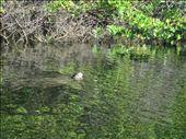 Mangrove: by moomazza, Views[188]