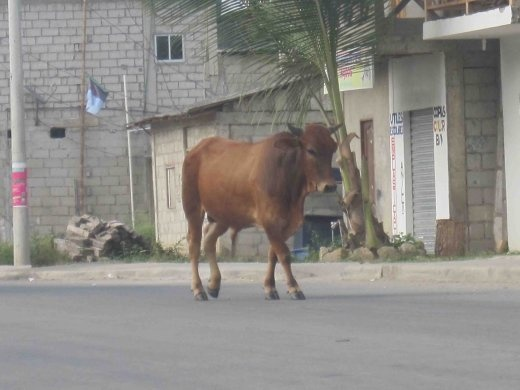 Cow in the street in Montanita