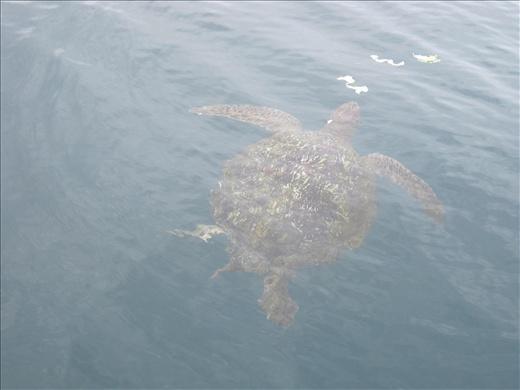 Isla de la Plata Turtle