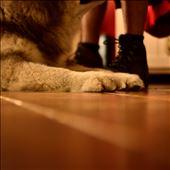malamute paw: by moorehen, Views[87]