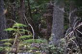 Stalking Whitetail. Burton, BC.: by morningoftheearth, Views[87]
