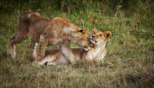 Caption: Snuggles  This heartwarming picture was captured at the Savannah bushes in Masai Mara Kenya which is a kingdom of lions. The lioness was soulfully caressing her cub, which was a beautiful sight to watch and capture.