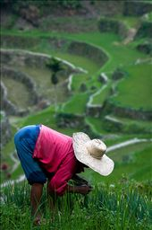 Woman working in her rice field near Batad village.: by mperedaphotography, Views[233]