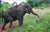 Sambo heading for the Bamboo (Elephants have a keen sense of Smell): by mtmmeyer, Views[94]