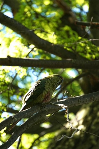 Parrots in Patagonia?