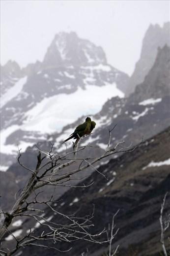 Yep parrots in Patagonia