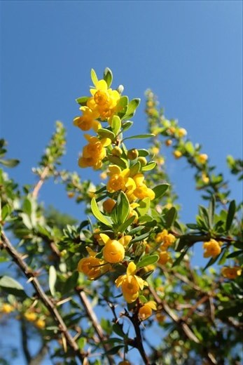 Calafate has fragrant blooms which made the hike that more pleasant..  It is the plant after which the town is named