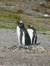 Gentoo Penguins: by mtmmeyer, Views[21]