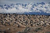 Bird Island featuring King Cororants: by mtmmeyer, Views[21]