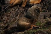 South American Sea Lion: by mtmmeyer, Views[24]