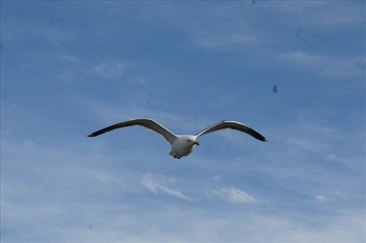 Cook Gull surfing the wind