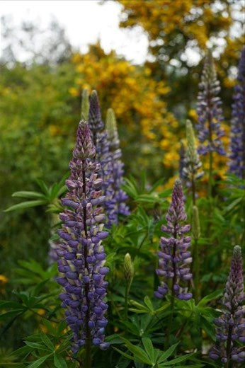 Lupines grow wild in the park but are not native