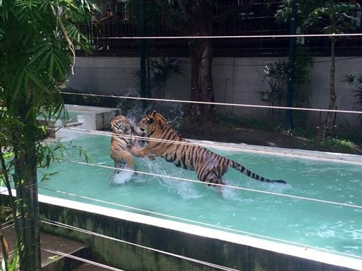 Tigers playing at Tiger Kingdom