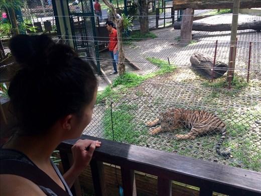 So many tigers!