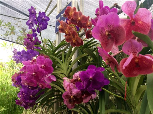 Orchids, orchids and more orchids at the orchid farm