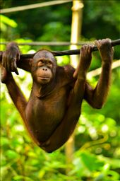 palm oil is causing this majestic primate to lose their home and family and lowering their population.: by my-scholarship-entry12, Views[112]
