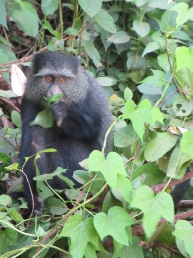 This Blue Monkey was so human like as he was eating!