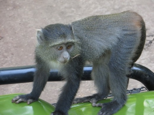 Blue Monkeys climbing on our Land Rover!
