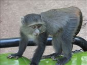 Blue Monkeys climbing on our Land Rover!: by my_year_of_yes, Views[90]