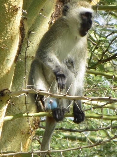 Velvet Monkey sitting in an Acacia Tree ... yes, the boys really do have bright blue balls!