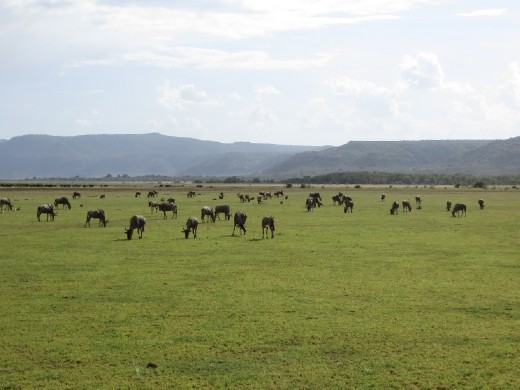 Our first Wildebeest sighting.
