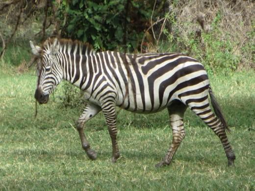 First Zebra sighting.