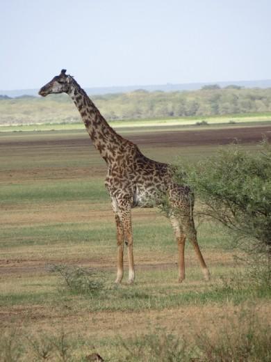 Our first giraffe!