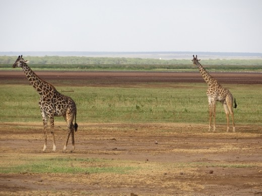 Each giraffe is like a snowflake with its own unique pattern!