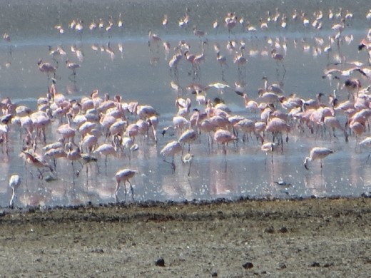Flamingos!  There are many salt water lakes in Tanzania. The flamingos are pretty safe because not too many predators live or will enter the salt water lakes.