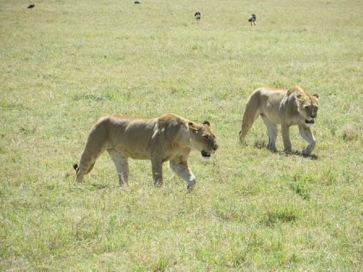 LIONS!!!!!
