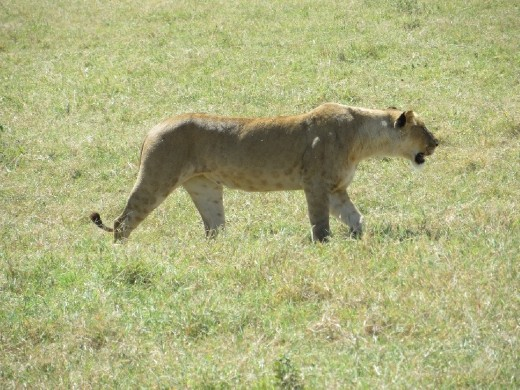 We came across a group of 6 lionesses and 1 young male lion.  They were sauntering across the plain coming closer and closer to us!