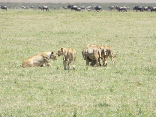 On the other side of the road, Joseph spots another group of lions... This time 2 males and 5 females.