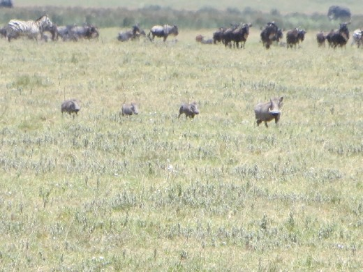 Notice the animals in the background not even stressing that the lions are near.  Joseph said this is because lions do not usually hunt in the heat of the day because it expends too much energy.