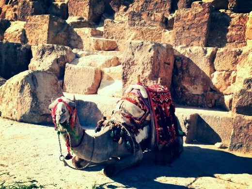 A camel waiting at the base of the Great Pyramid to give someone a ride!