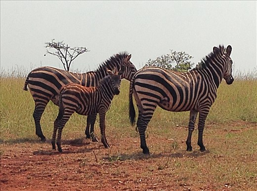 Who doesn't love zebras? Their stripes are mesmerizing!