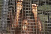 Agony. The orang-utan was locked up because it apparently misbehaved: by myrawther, Views[133]