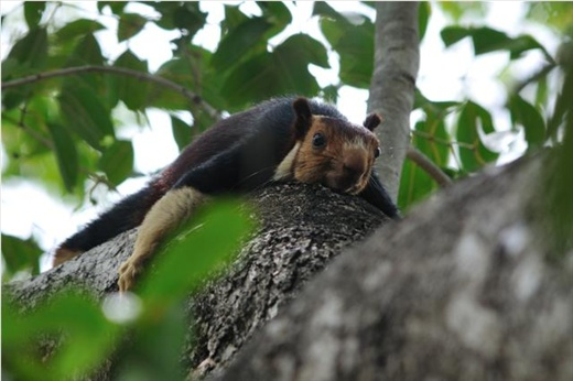 Indian Giant Squirrel - wakes up in the morning